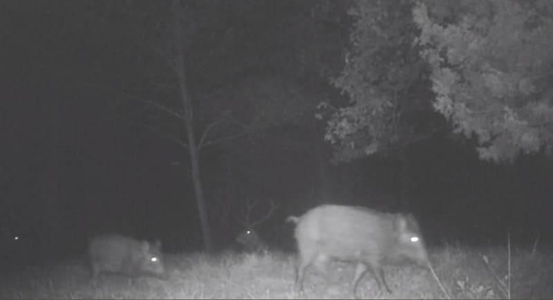 Interazioni e convivenza tra cervi e cinghiali