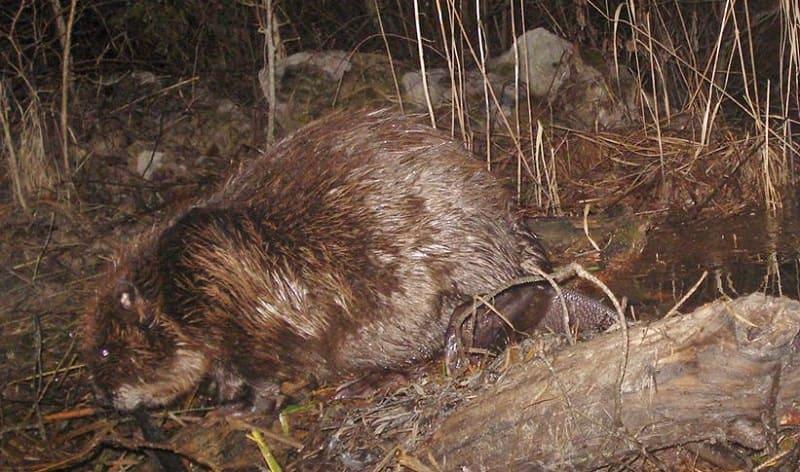 Ponta il primo ed unico castoro in Italia
