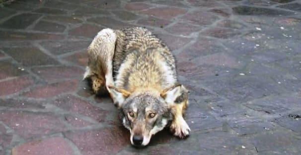 La storia del lupo Reno