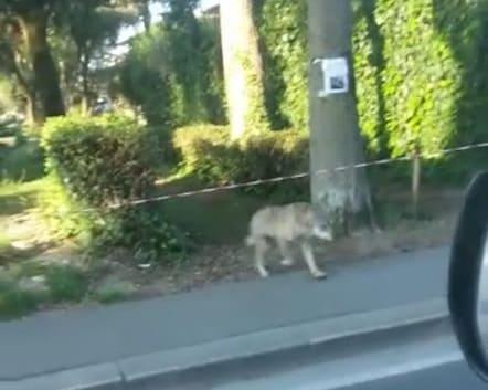 Avvistamento lupi in città durante lockdown
